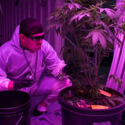 Steve Cantwell is a former UFC Fighter turned marijuana cultivator in Pahrump, Nevada. Here he's shown clipping one of his marijuana plants, which is part of the cloning process.